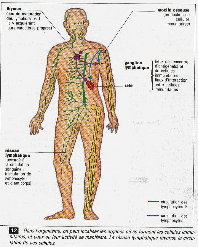 immunite du corps humain